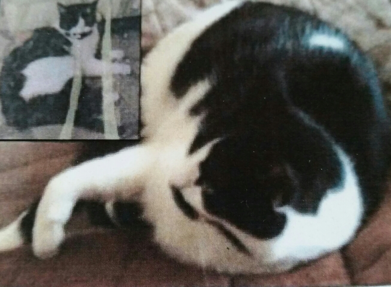 Lost black and white cat in Epsom KT17: Harold #FindHarold
