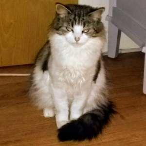 Lost: cat lost in Epsom Ashley Road area